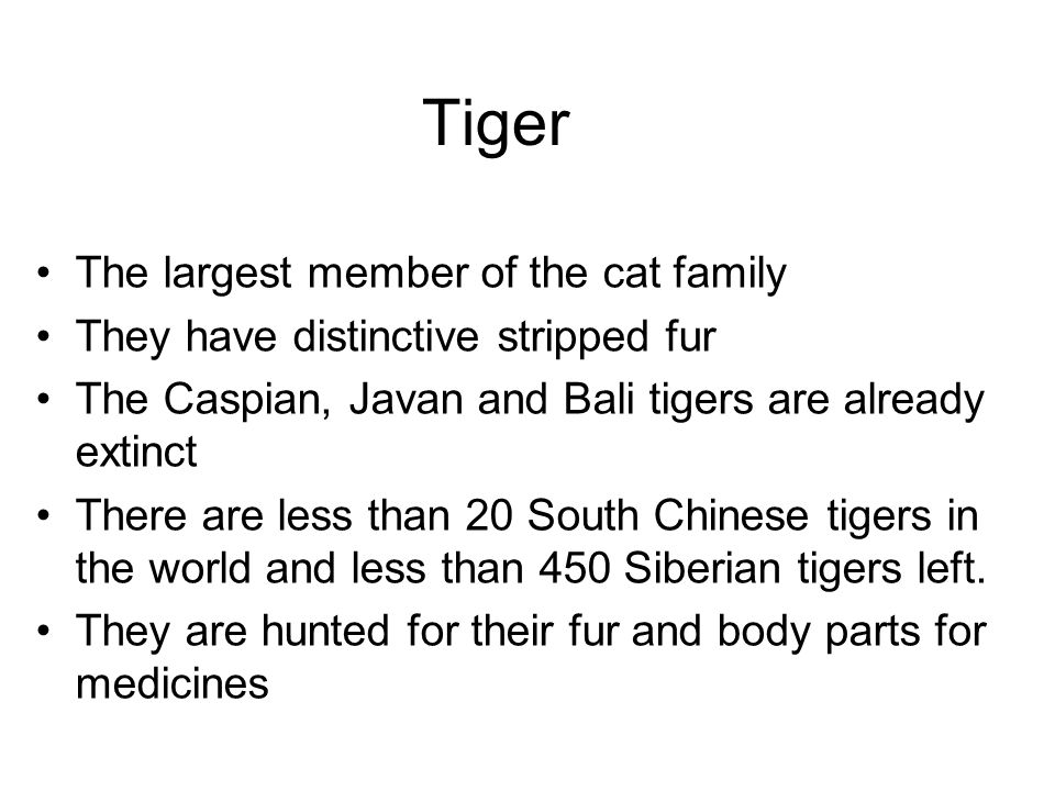 Tiger The largest member of the cat family