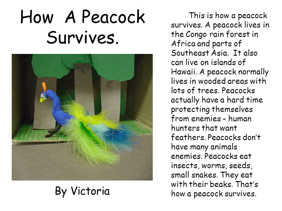 How A Peacock Survives. By Victoria