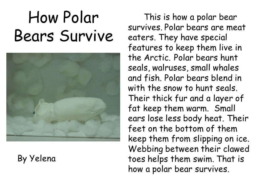 How Polar Bears Survive