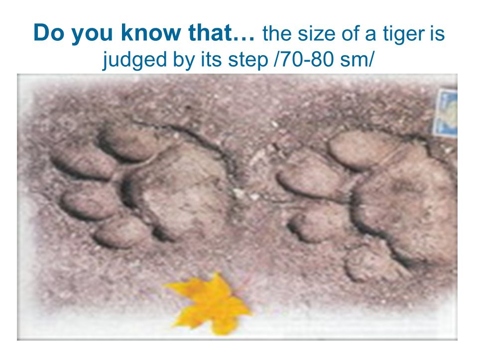 Do you know that… the size of a tiger is judged by its step /70-80 sm/