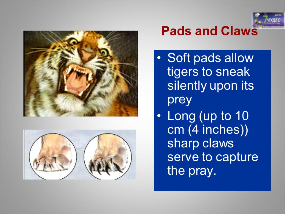 Pads and Claws Soft pads allow tigers to sneak silently upon its prey.