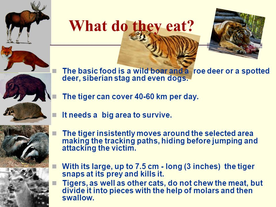 What do they eat The basic food is a wild boar and a roe deer or a spotted deer, siberian stag and even dogs.