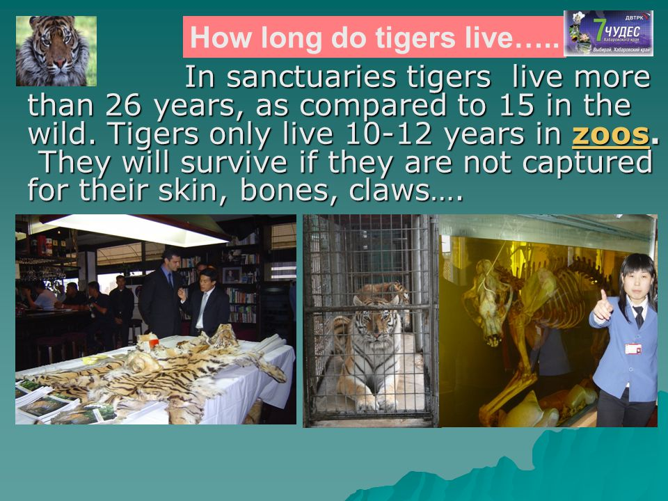 How long do tigers live…..