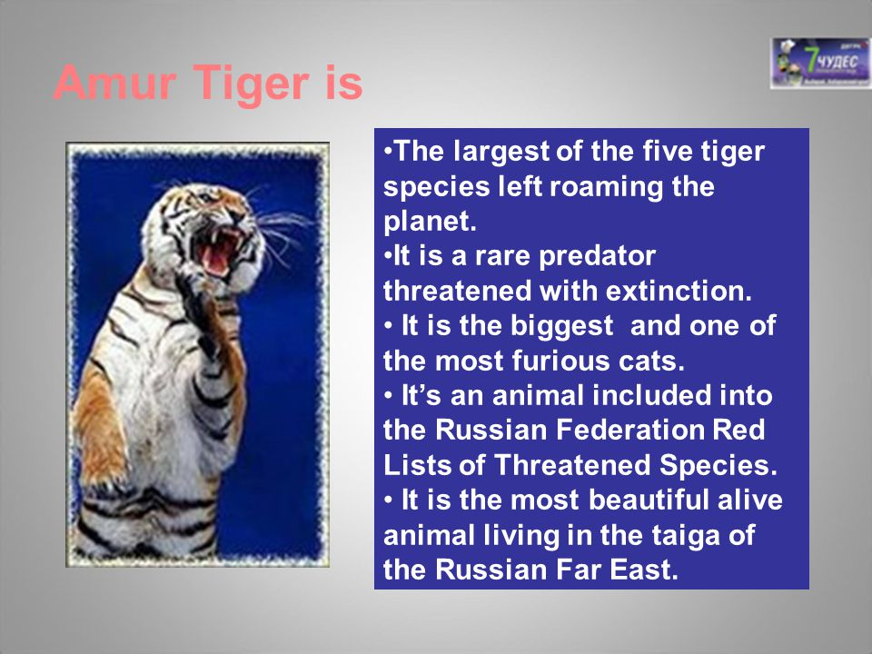 Amur Tiger is The largest of the five tiger species left roaming the planet. It is a rare predator threatened with extinction.
