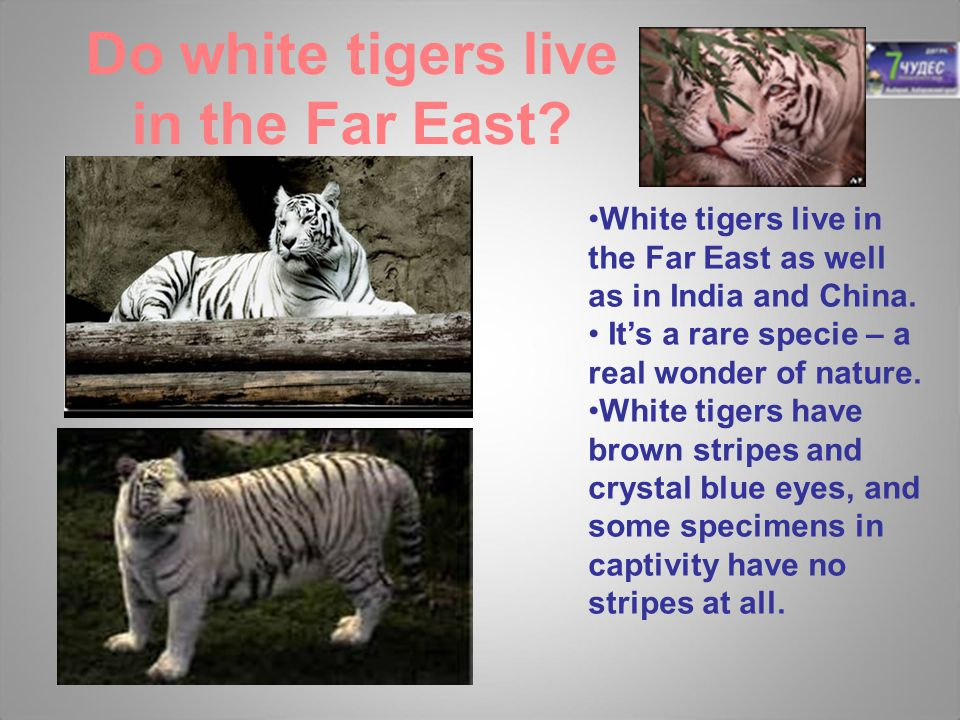 Do white tigers live in the Far East