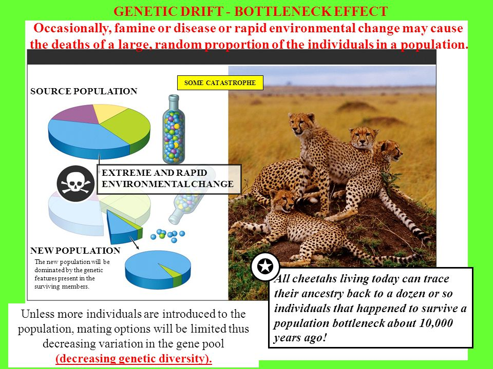 GENETIC DRIFT - BOTTLENECK EFFECT