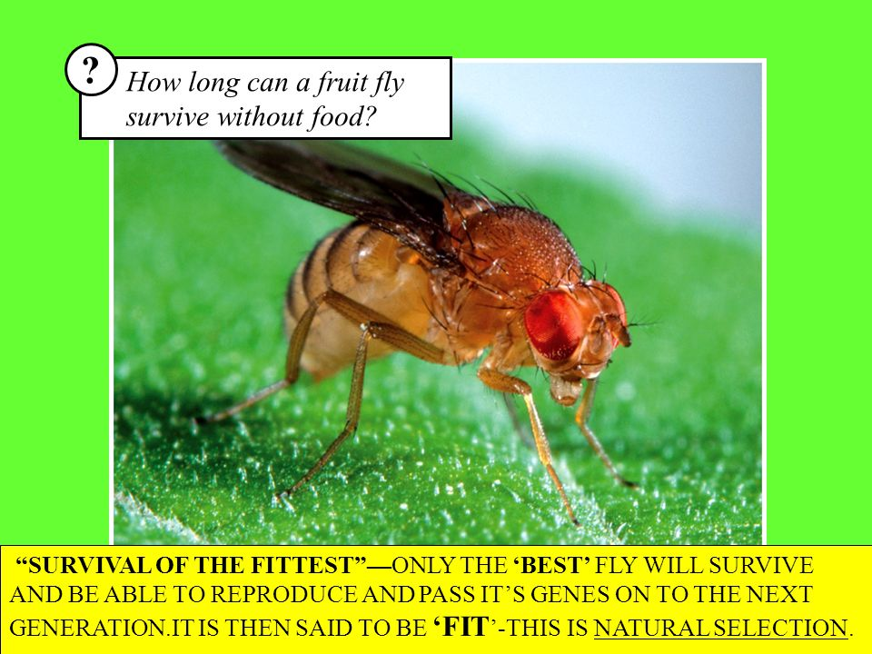 How long can a fruit fly survive without food