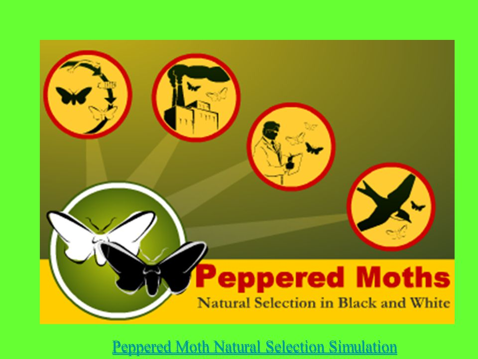 Peppered Moth Natural Selection Simulation