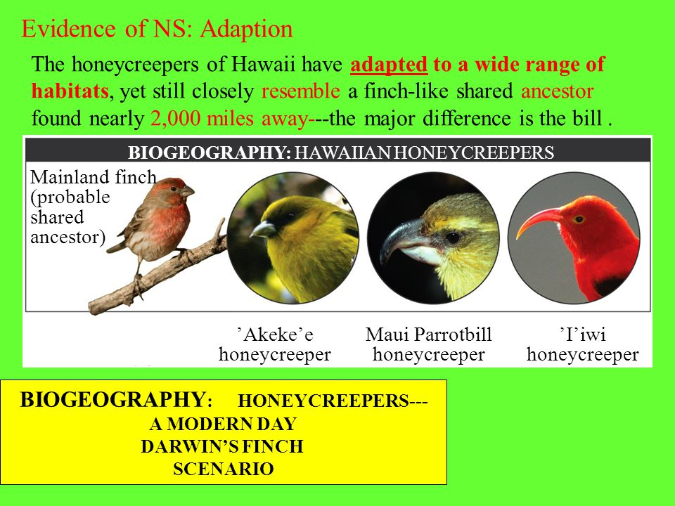 BIOGEOGRAPHY: HONEYCREEPERS---