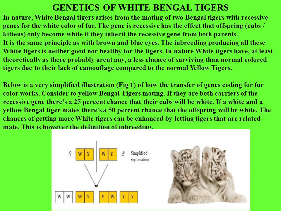 GENETICS OF WHITE BENGAL TIGERS