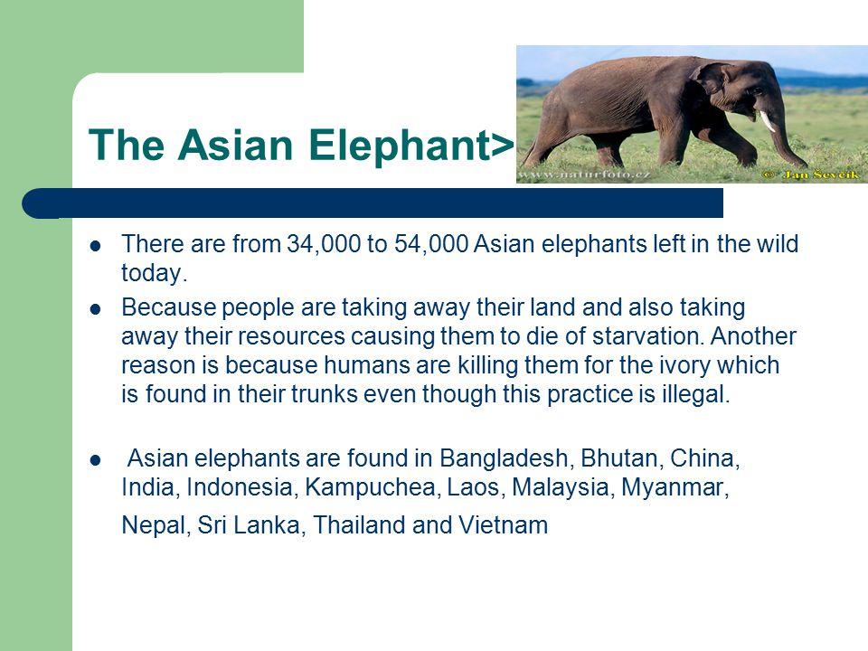 The Asian Elephant>