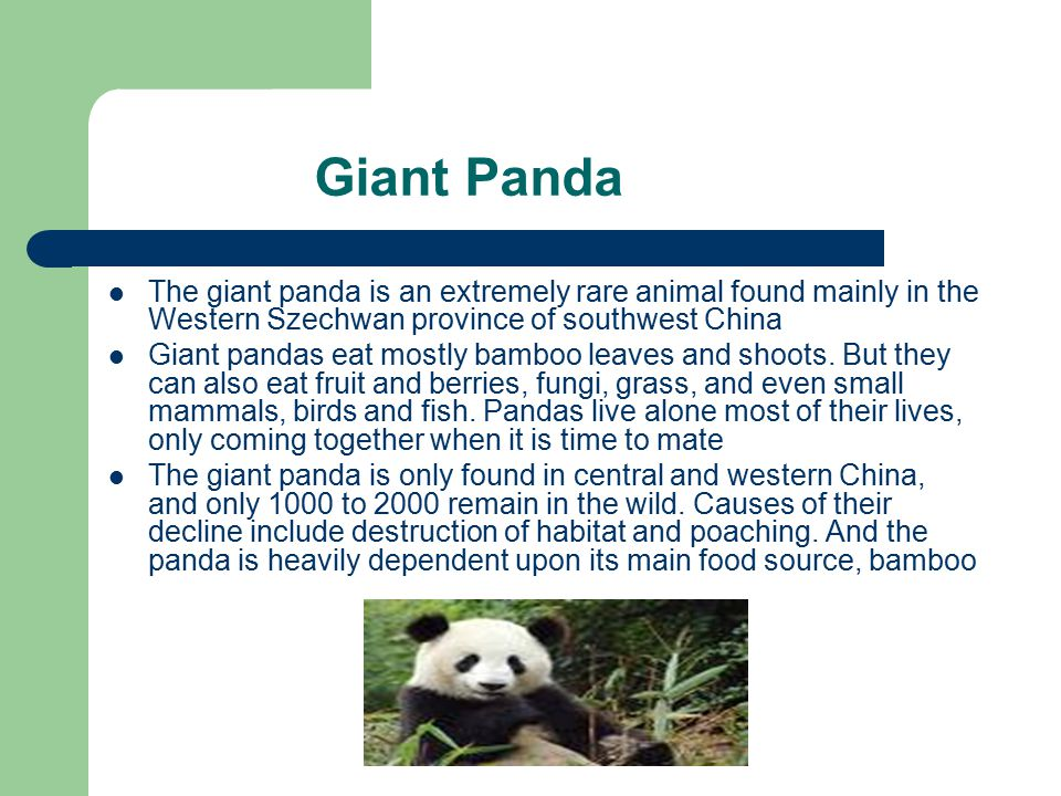 Giant Panda The giant panda is an extremely rare animal found mainly in the Western Szechwan province of southwest China.