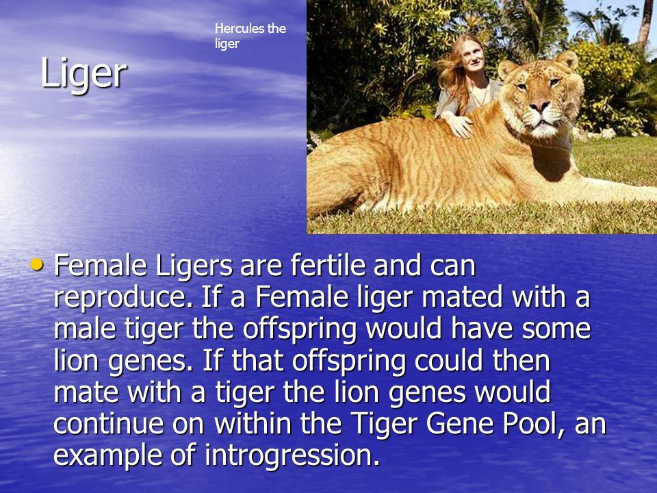 Hercules the liger Liger.