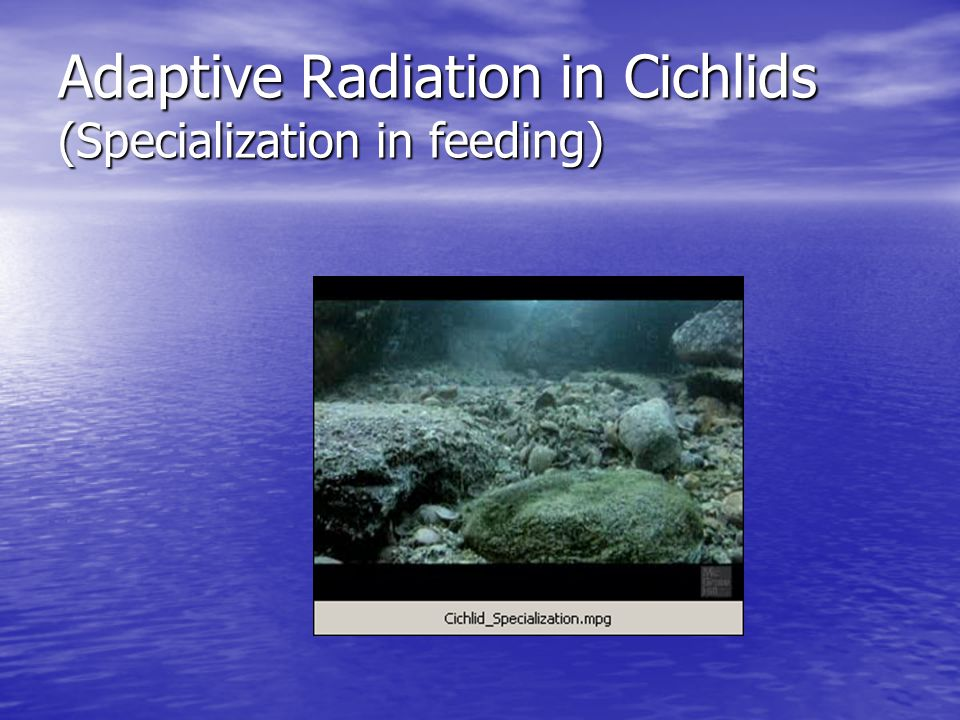 Adaptive Radiation in Cichlids (Specialization in feeding)