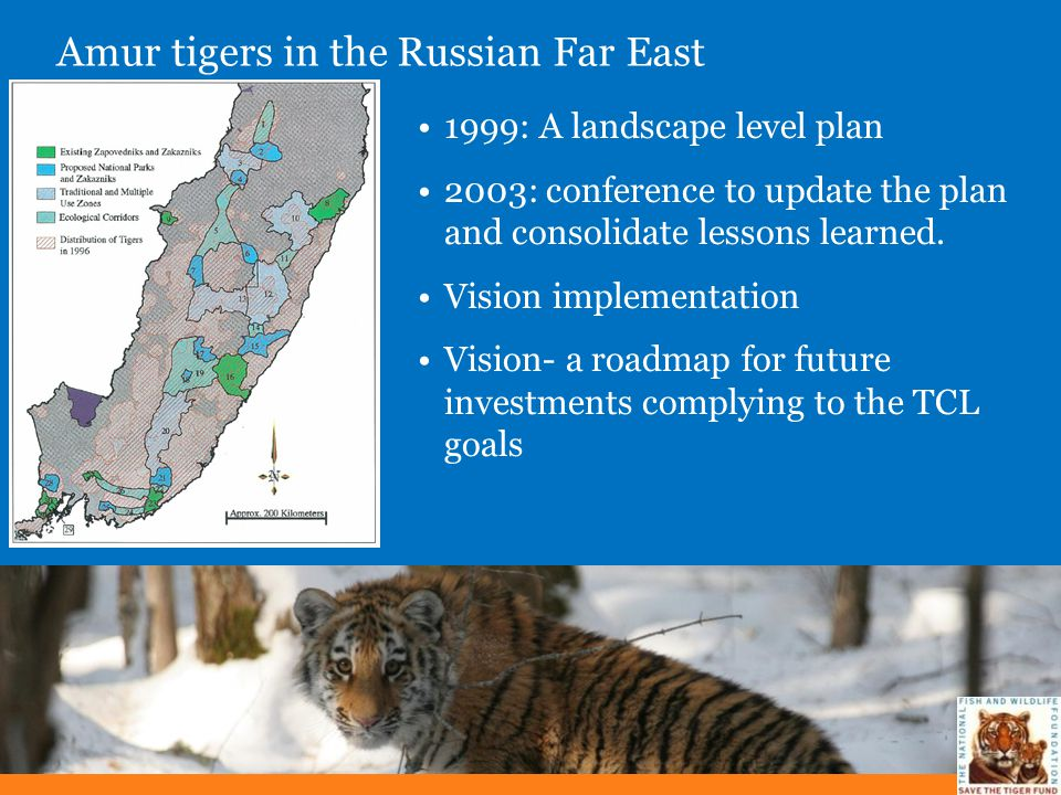 Amur tigers in the Russian Far East