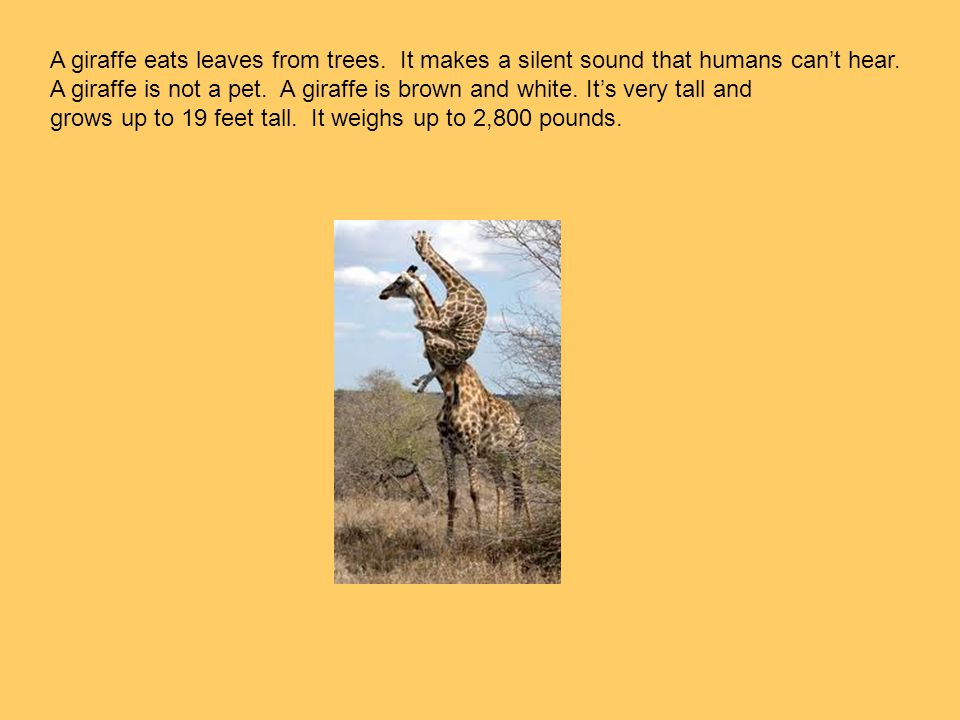 A giraffe eats leaves from trees