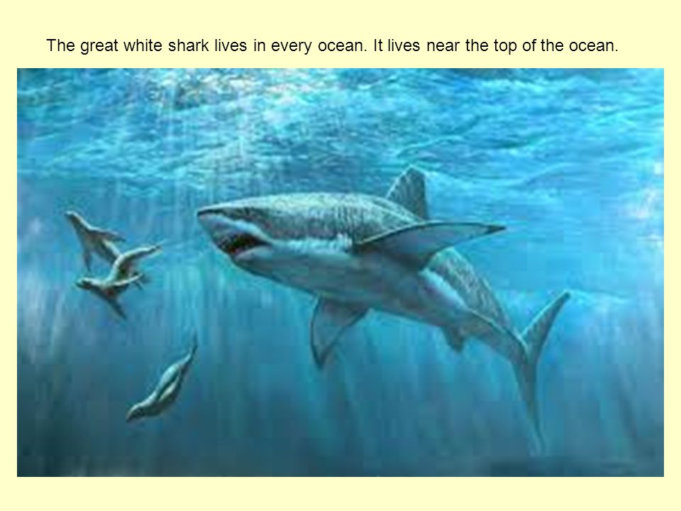 The great white shark lives in every ocean