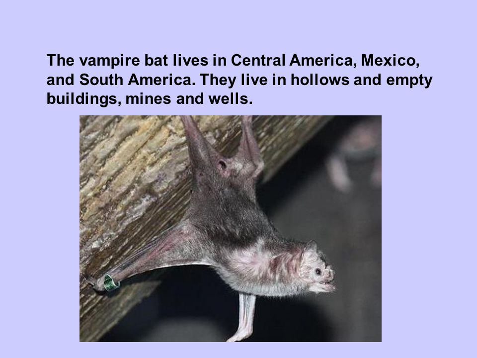 The vampire bat lives in Central America, Mexico,