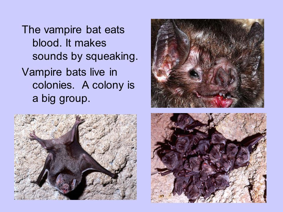 The vampire bat eats blood. It makes sounds by squeaking.