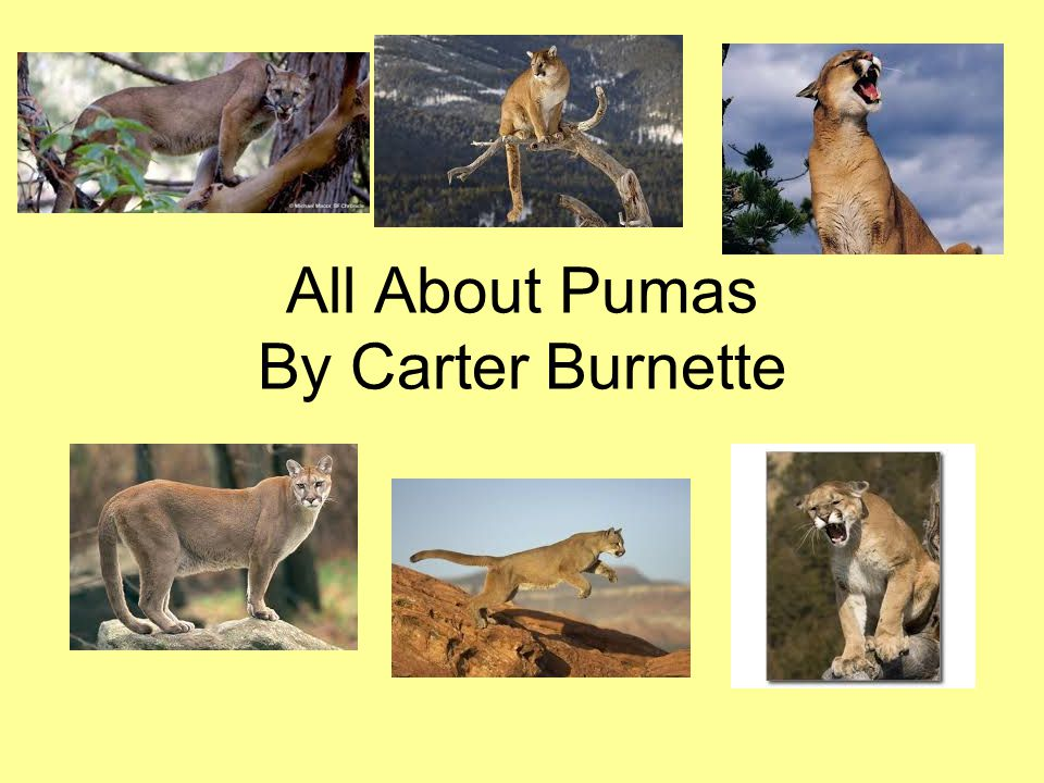 All About Pumas By Carter Burnette