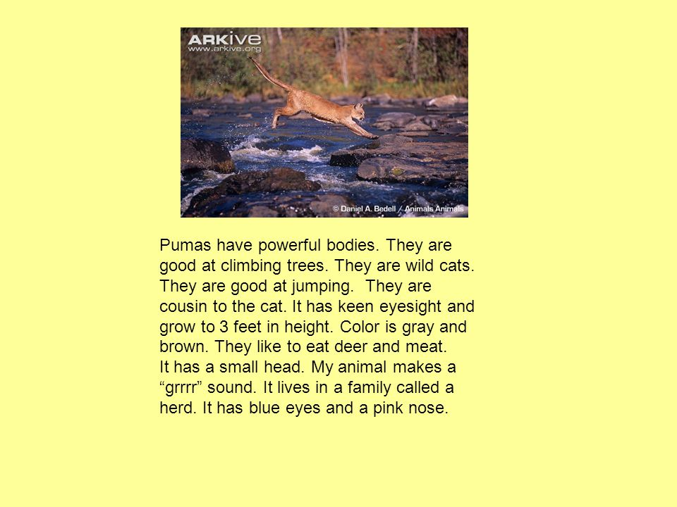 Pumas have powerful bodies. They are good at climbing trees