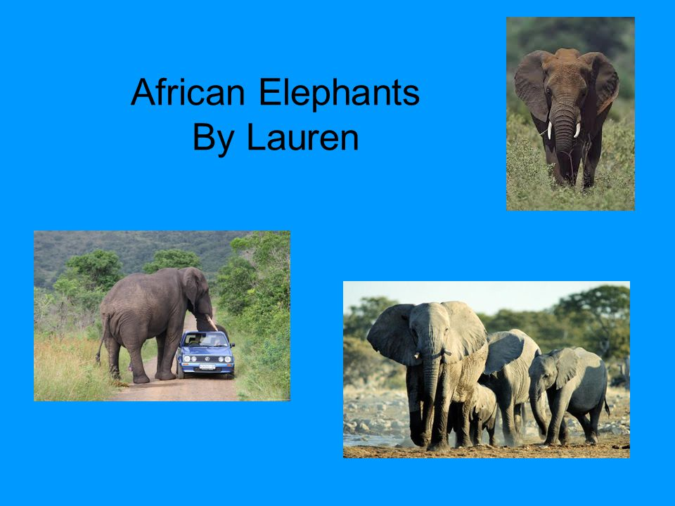 African Elephants By Lauren
