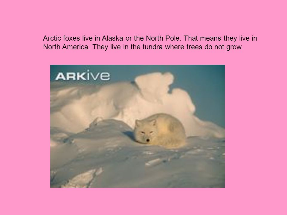 Arctic foxes live in Alaska or the North Pole