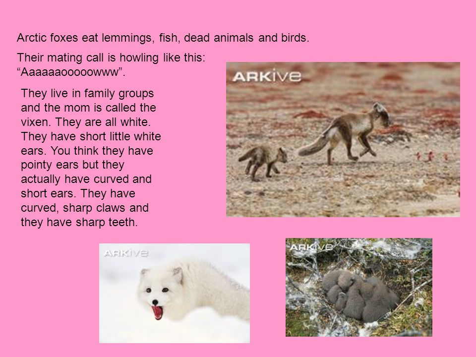 Arctic foxes eat lemmings, fish, dead animals and birds.