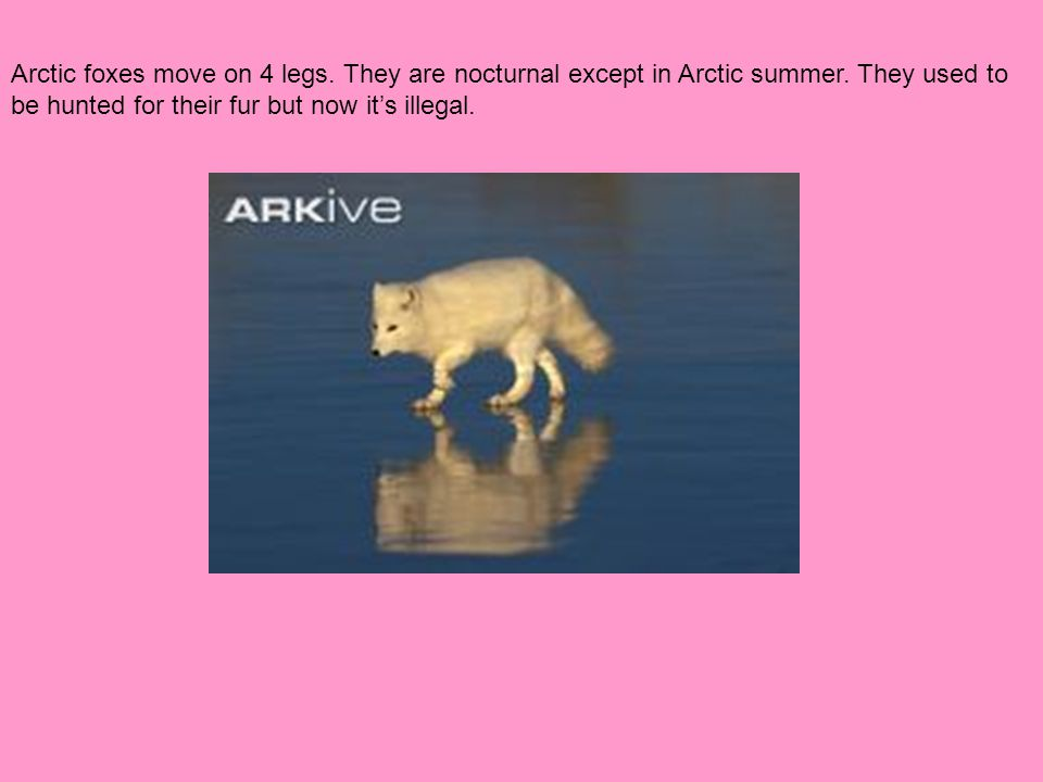 Arctic foxes move on 4 legs. They are nocturnal except in Arctic summer. They used to