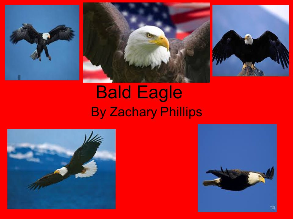 Bald Eagle By Zachary Phillips