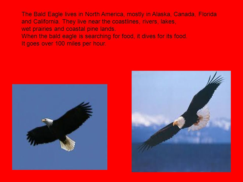 The Bald Eagle lives in North America, mostly in Alaska, Canada, Florida