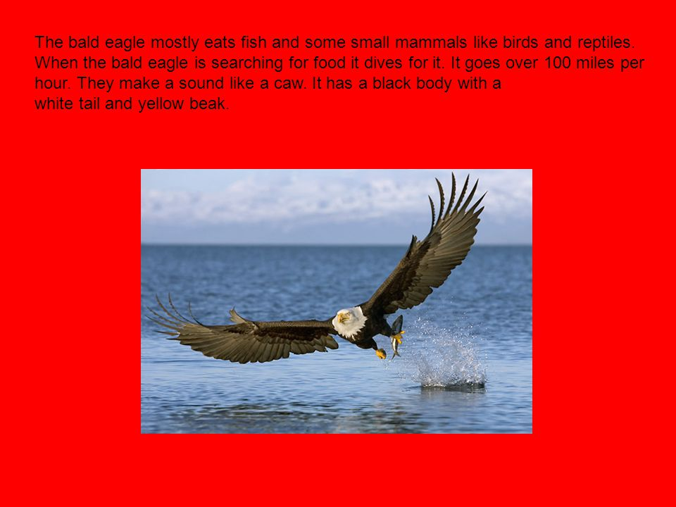 The bald eagle mostly eats fish and some small mammals like birds and reptiles.
