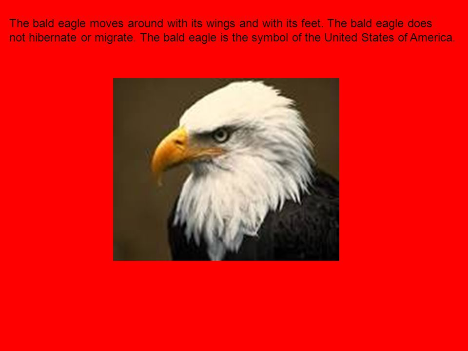 The bald eagle moves around with its wings and with its feet