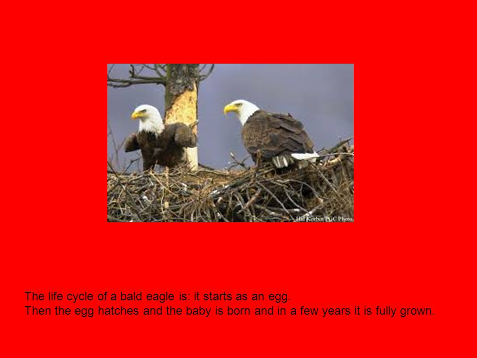 The life cycle of a bald eagle is: it starts as an egg.