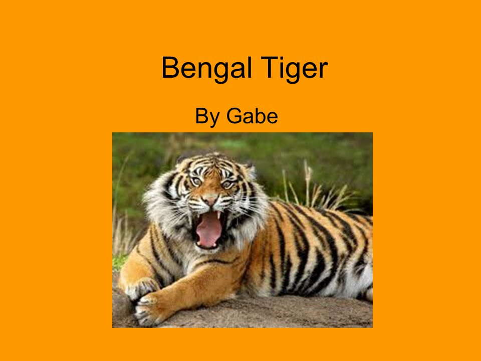Bengal Tiger By Gabe