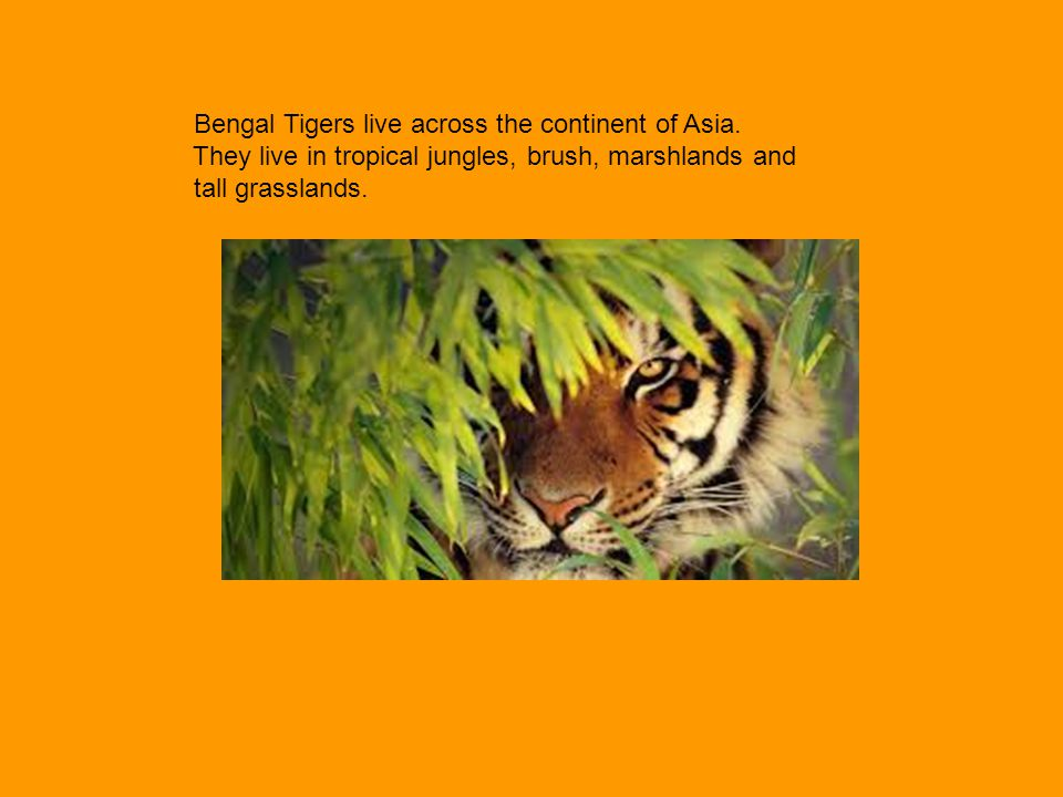 Bengal Tigers live across the continent of Asia.