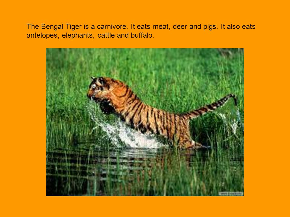 The Bengal Tiger is a carnivore. It eats meat, deer and pigs
