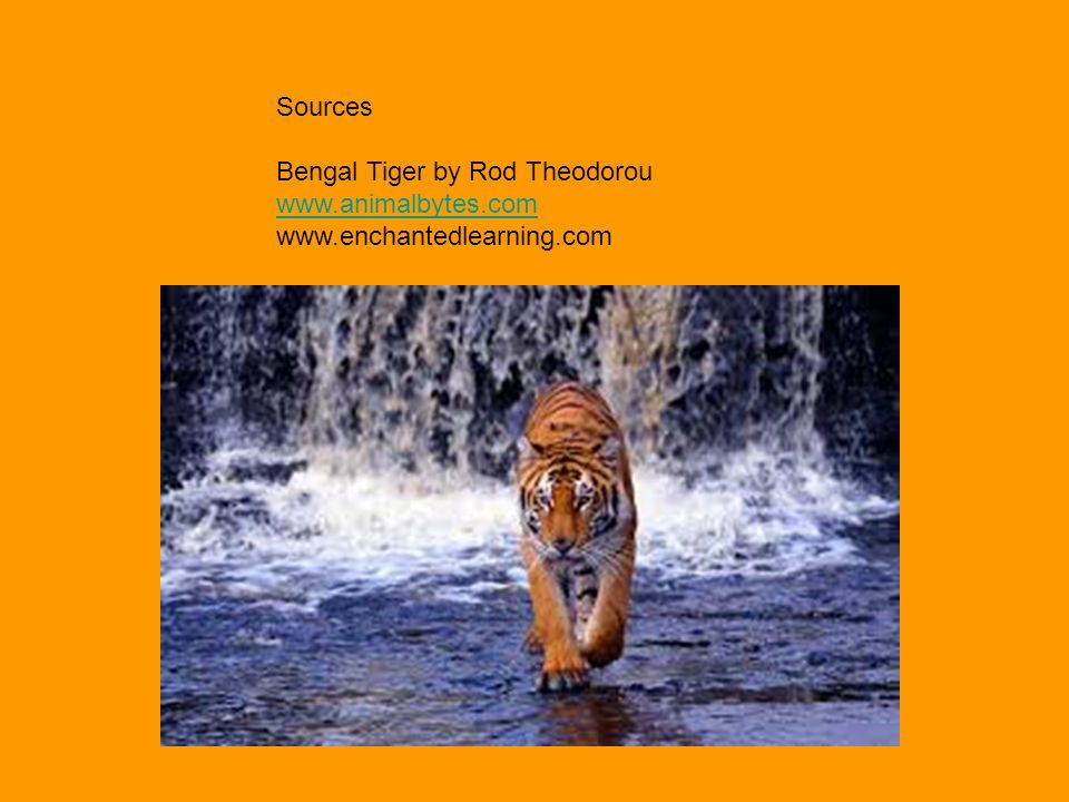 Sources Bengal Tiger by Rod Theodorou www.animalbytes.com www.enchantedlearning.com
