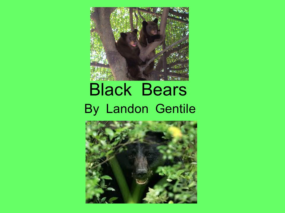 Black Bears By Landon Gentile