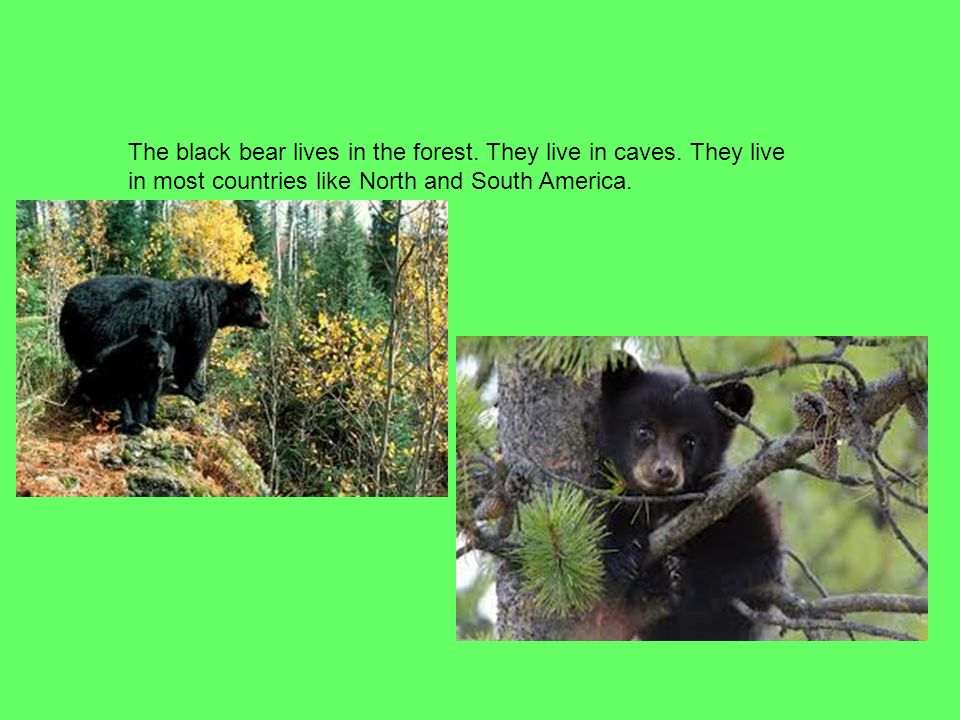 The black bear lives in the forest. They live in caves. They live