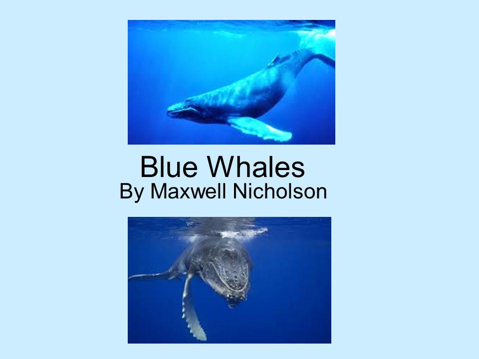 Blue Whales By Maxwell Nicholson