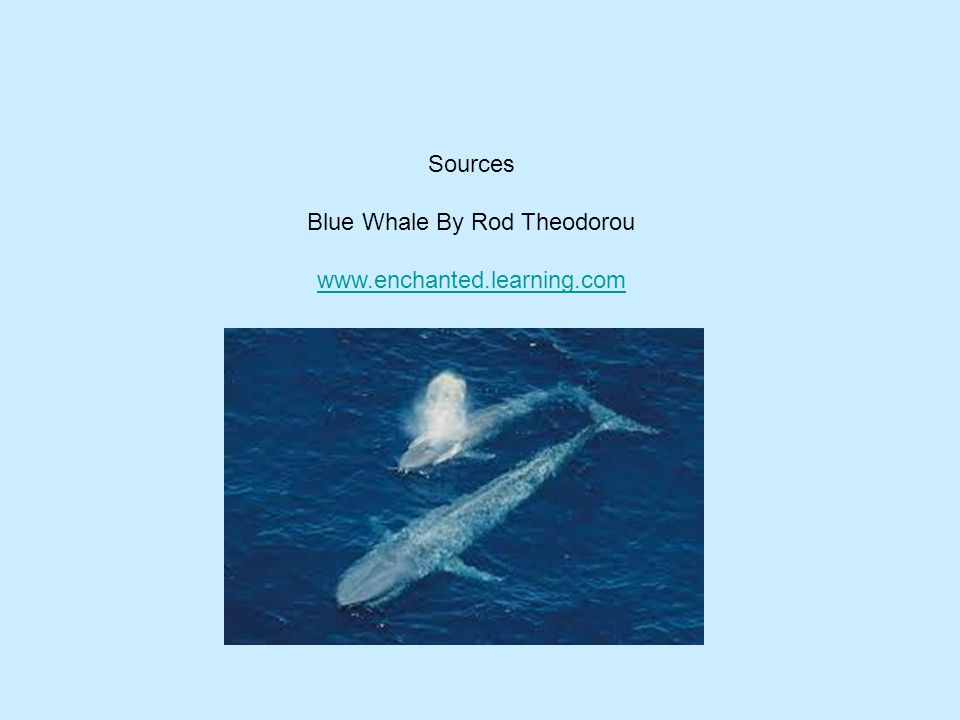 Blue Whale By Rod Theodorou