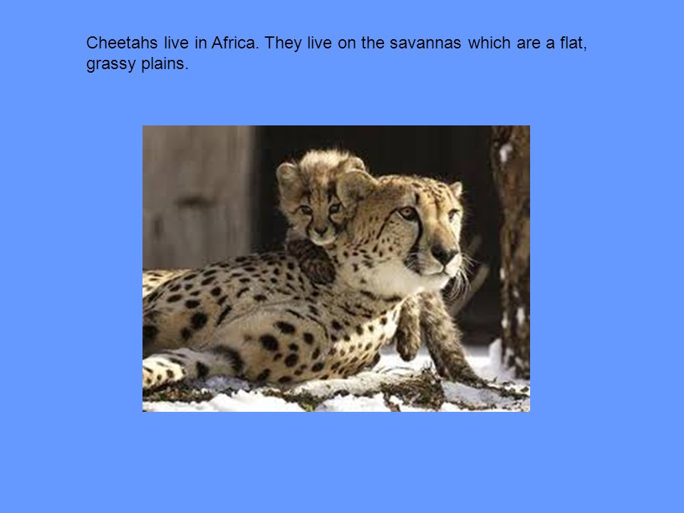 Cheetahs live in Africa. They live on the savannas which are a flat,