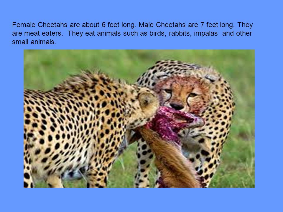 Female Cheetahs are about 6 feet long. Male Cheetahs are 7 feet long
