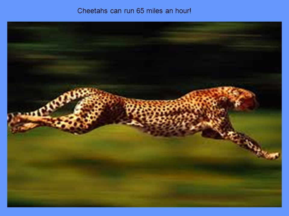 Cheetahs can run 65 miles an hour!