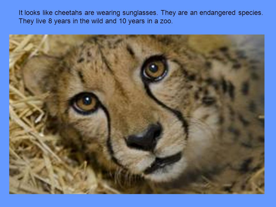 It looks like cheetahs are wearing sunglasses