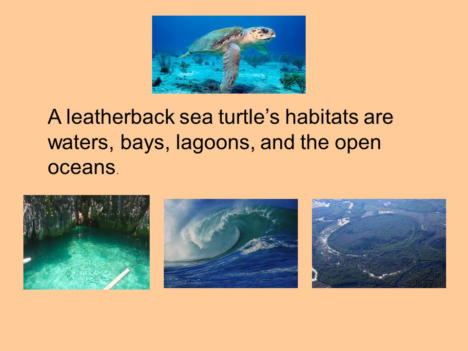A leatherback sea turtle's habitats are waters, bays, lagoons, and the open oceans.