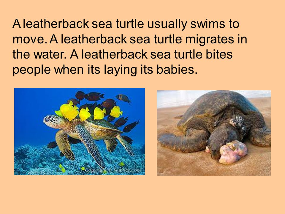 A leatherback sea turtle usually swims to move