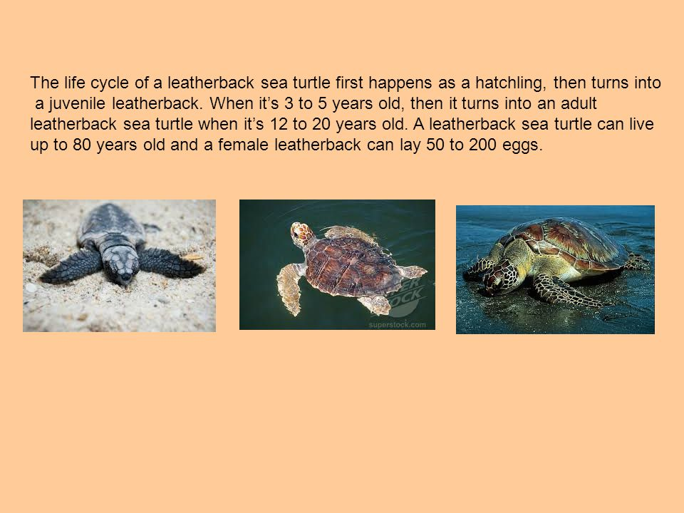 The life cycle of a leatherback sea turtle first happens as a hatchling, then turns into