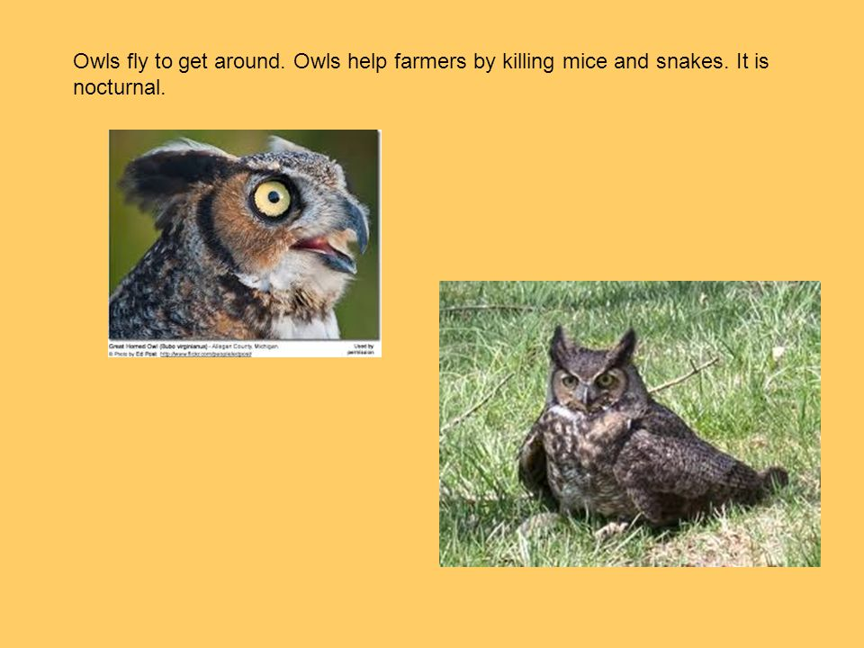Owls fly to get around. Owls help farmers by killing mice and snakes
